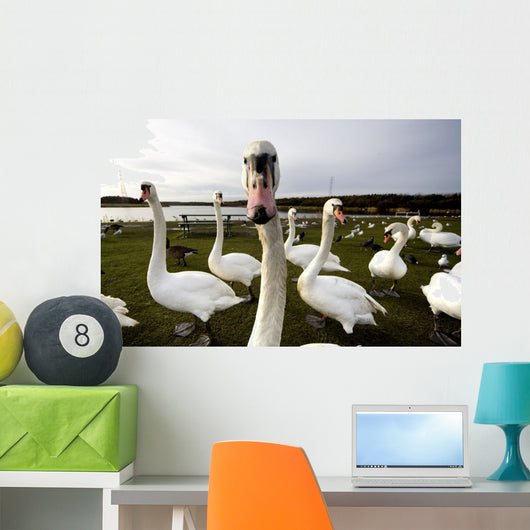 Large Flock Of Swan On Land Wall Mural