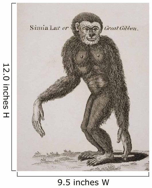 Simia Lar, Great Gibbon Engraved By Barlow, 18Th Century Wall Mural