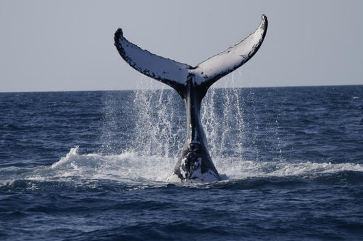 Humpback to Dive