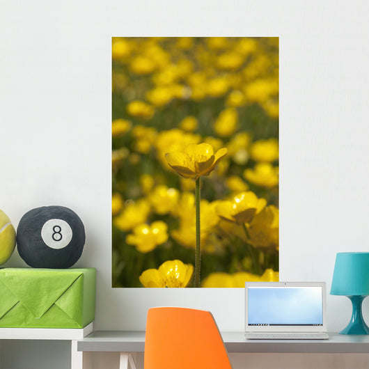 A Field Of Yellow Buttercups Wall Mural