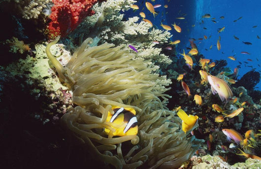 Red Sea Anemone Fish In Anemone Wall Mural