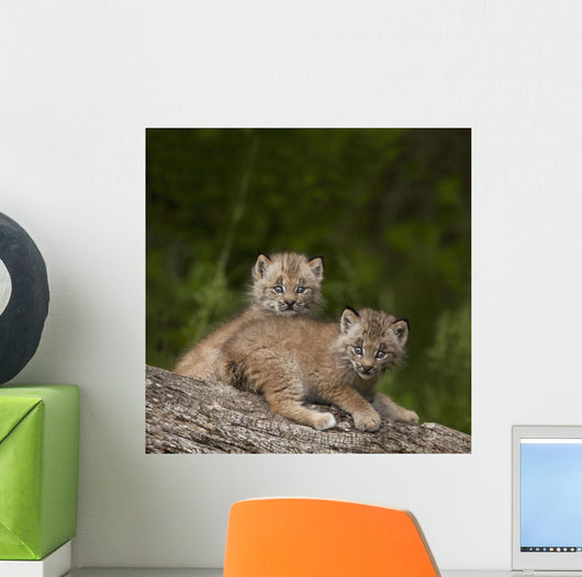 Two Canada Lynx Kittens Playing On A Log Wall Mural