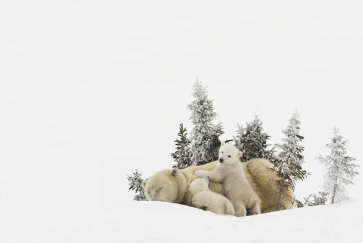 Polar Bear Mother And Her Cubs Playing Wall Mural