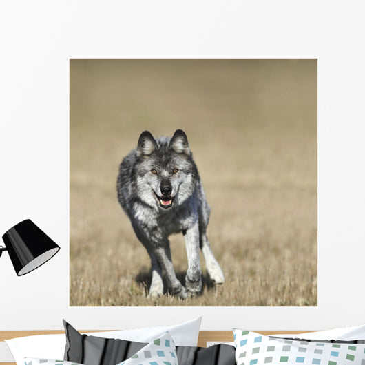 Wolf Running Towards Camera Wall Mural