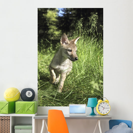 Captive Coyote Pup Running In The Grass Wall Mural
