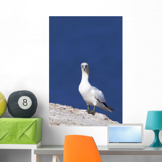 Gannet With An Attitude Staring At The Camera Wall Mural