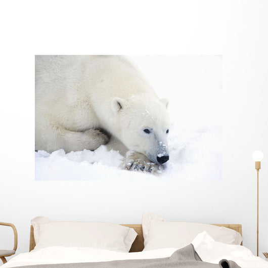 Polar Bear Has His Eyes Open During A Very Peaceful Rest Wall Mural