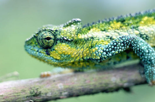 Chameleon In The Forests Of Mt Meru, Close Up Wall Mural