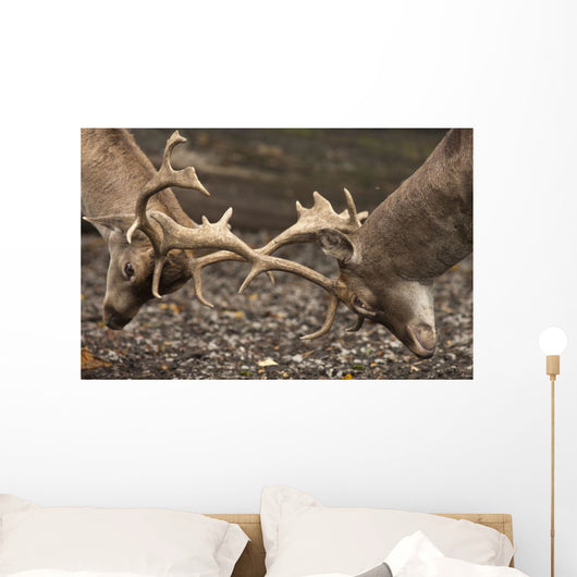 Two Deer Fighting With Antlers Wall Mural
