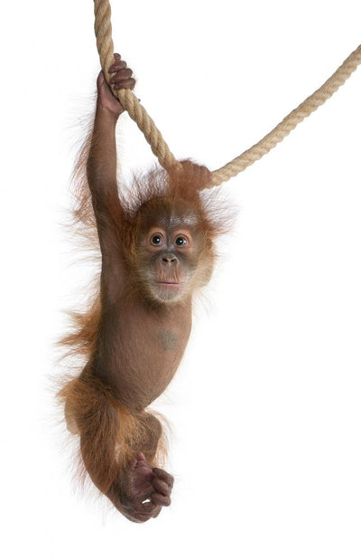 Sumatran Orangutan Hanging From Rope Wall Decal