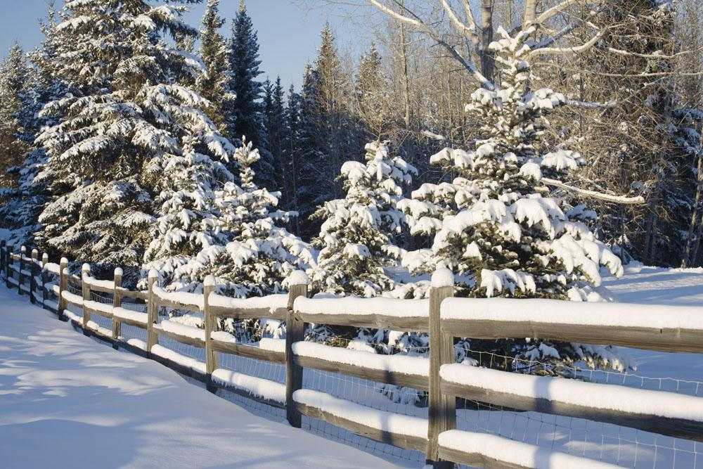 Snow-Covered Evergreens And Rustic Fence Wall Mural