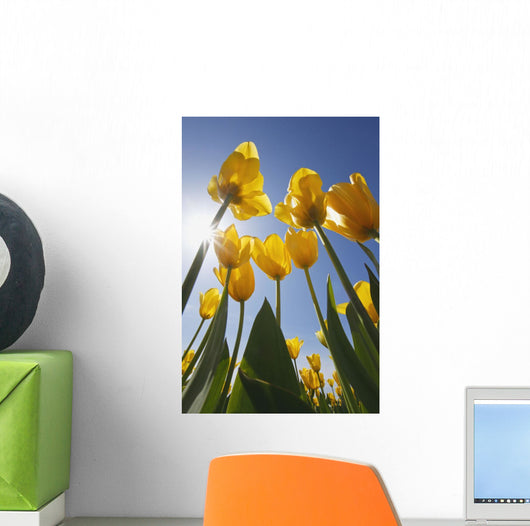 Yellow Tulips Against A Blue Sky At Wooden Shoe Tulip Farm Wall Mural