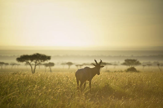 An Antelope Walks In The Grassland At Sunset Wall Mural