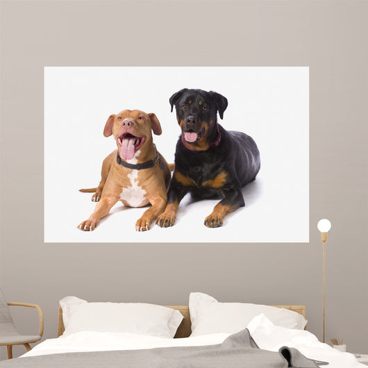 A Pitbull And A Rotweiller On A White Studio Background Wall Mural