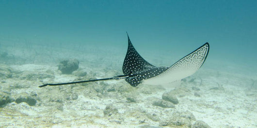 A Spotted Eagle Ray Under The Water Wall Mural