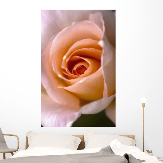 Close Up Of A Pink Rose Wall Mural