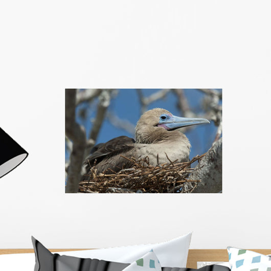 Red-Footed Booby Sitting In A Nest Wall Mural