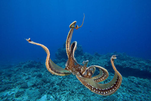 USA, tentacles outstretched over reef Wall Mural