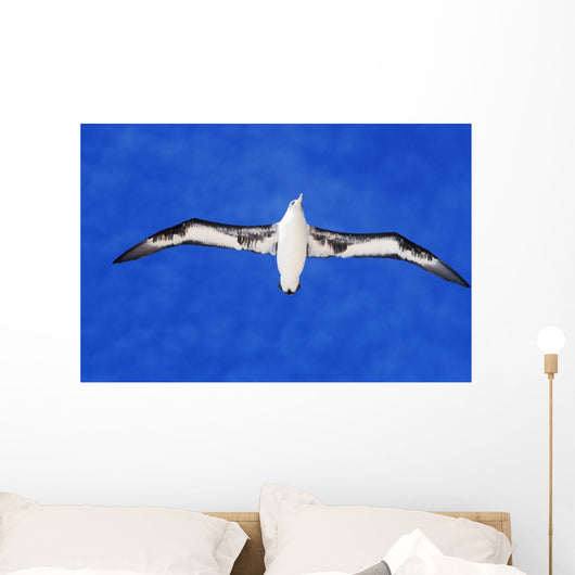 Midway Atoll, Laysan Albatross In Flight, Blue Sky, View From Below Wall Mural