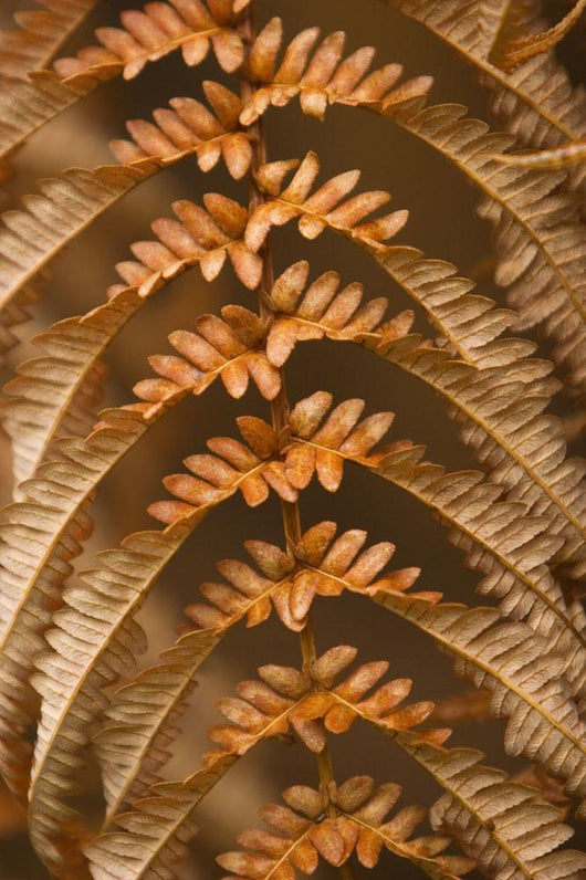 detail of dried brown fern Wall Mural