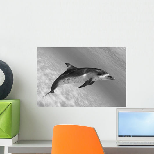 Atlantic Spotted Dolphin In Shallow Clear Ocean Water Wall Mural