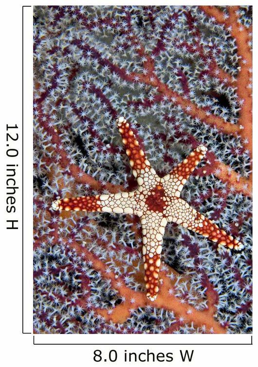 Necklace Seastar on gorgonian coral Wall Mural
