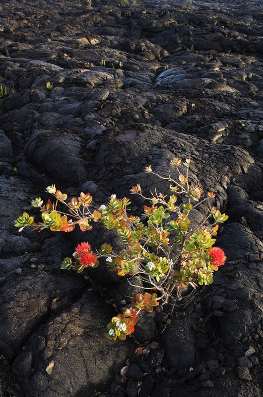 Ohi'a Lehua Tree Growing On Pahoehoe Lava Flow From Mauna Ulu Eruption Wall Mural