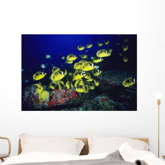 Hawaii, School Of Raccoon Butterflyfish Feeding Along Reef Wall Mural