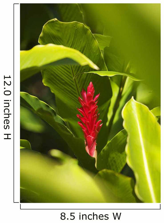 Red Ginger Flower Between Green Leaves Wall Mural