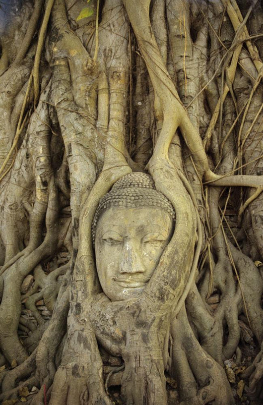 Close up Of Stone Buddha Head With Tree Roots Growing Over It Wall Mural