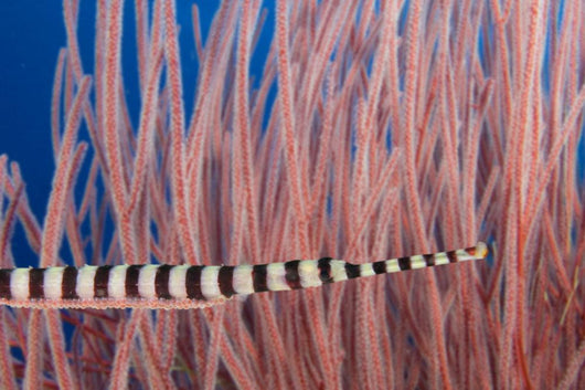 Male Banded Pipefish Brooding Eggs On It's Underside Wall Mural
