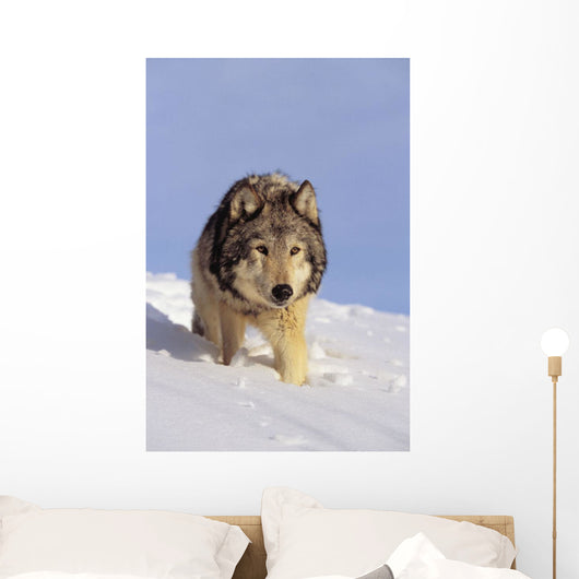 Alaska, Gray Wolf Stalking Prey In Deep Winter Snow Wall Mural