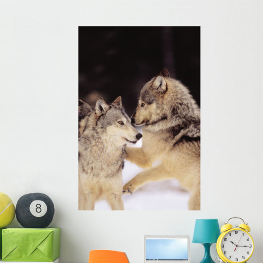 Alaska, Gray Wolves Playing In Deep Winter Snow At The Forests Edge Wall Mural