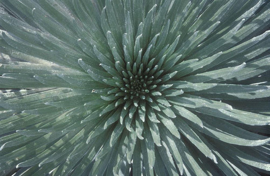 Close Up Of The Rosette Of A Silversword Or Ahinahina Wall Mural