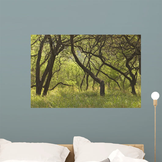 Hawaii, Lanai, Manele Bay Beach Park, Grove Of Kiawe Trees Wall Mural