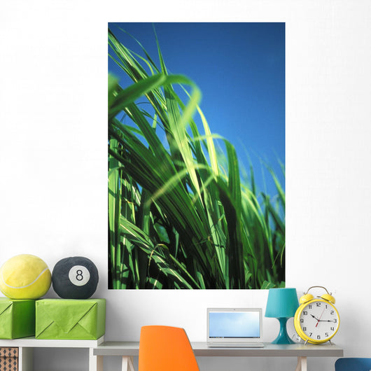 Sugarcane Plant Close-Up With Blue Sky In Background Wall Mural
