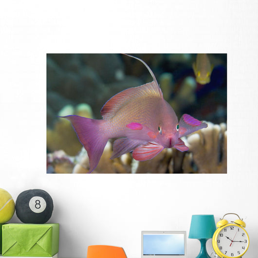 Indonesia, Lyre-Tail Anthias Or Basslet Wall Mural
