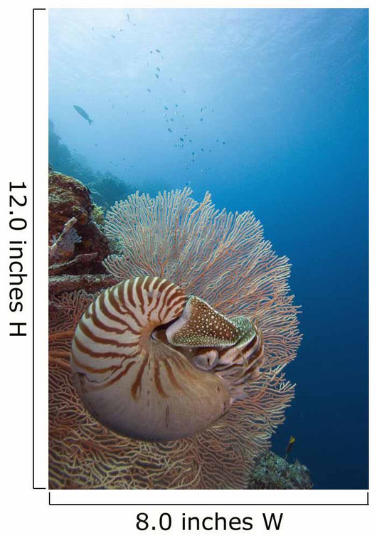 Micronesia, Palau, Chambered Nautilus Floating Among Coral Wall Mural