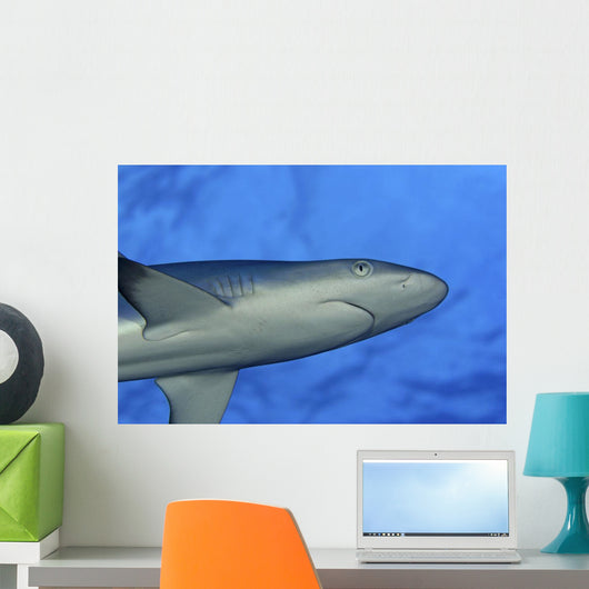 Hawaii, Grey Reef Shark Viewed From Below Wall Mural