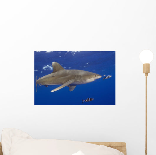 Hawaii, Big Island, Oceanic Whitetip Shark With Pilot Fish Wall Mural