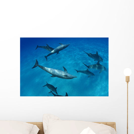 Atlantic Bottlenose Dolphin Interact With Atlantic Spotted Dolphin Wall Mural