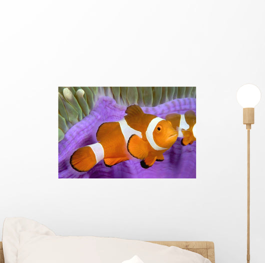 Malaysia, Western Clown Anemone Fish, Amphiprion Ocellaris Wall Mural