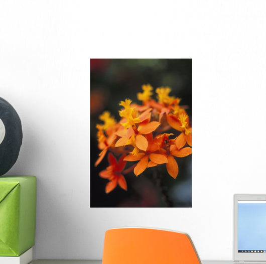 Close-Up Single Group Of Orange Epidendrum Orchid, Soft Focus Wall Mural