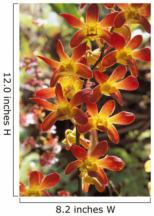 Close-Up Of Red And Yellow Dendrobium Orchids Wall Mural