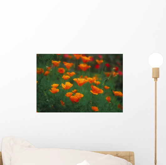 Hawaii, Maui, Olinda, Field Of Wild Orange Poppies Growing Wall Mural