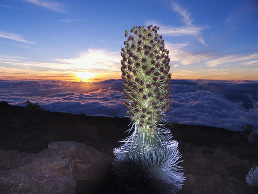 Hawaii, Maui, Haleakala, Silversword Sunset And Clouds In Background Wall Mural