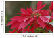 Close-Up Of Poinsettia Covered In Dew In The Rain Wall Mural