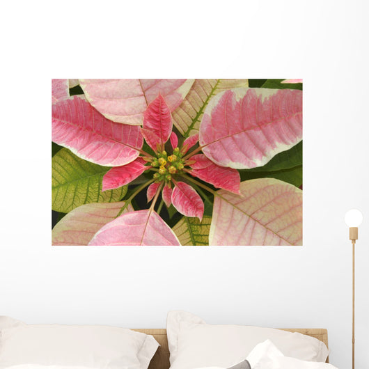 Close-Up Of Pink Poinsettia Wall Mural