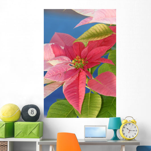 Close-Up Of Pink Poinsettia With Blue Background Wall Mural
