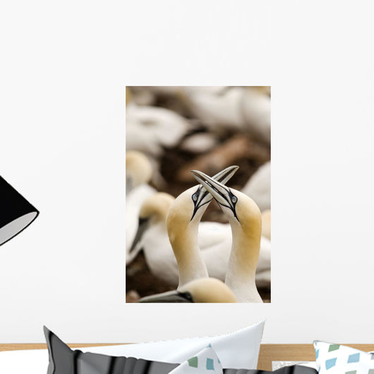 Northern Gannets Rubbing Beaks Wall Mural